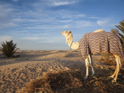 Great Dune and Camel, Douz, Sahara Desert, Tunisia