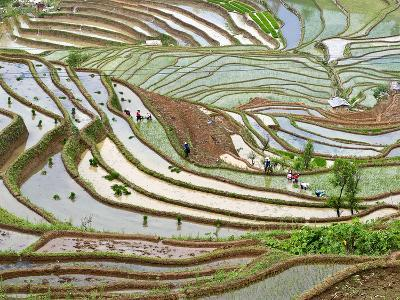 Native Yi People Plant Flooded Rice Terraces Near Laomeng Town, Jinping, Yunnan, China