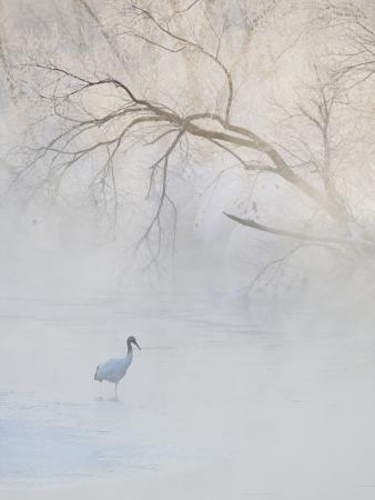 Hooded Crane Walks Through a Cold River under Hoarfrost-Covered Trees, Tsurui, Hokkaido, Japan