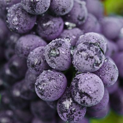 Chianti Grapes Ready for Harvest, Greve, Tuscany, Italy