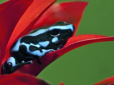 Blue and Black Poison Dart Frog, Panama Blue