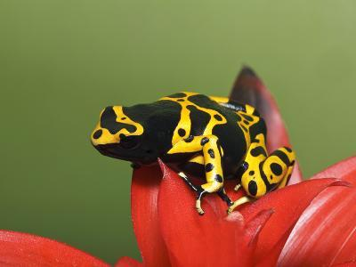 Bumblebee Poison Frog, Aka Yellow-Banded Poison Dart Frog