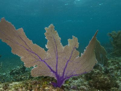 Common Sea Fan, Mexico