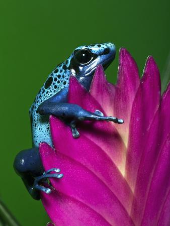 Blue Poison Dart Frog Aka Okopipi, Surinam