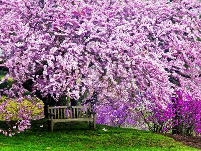 Wooden Bench under Cherry Blossom Tree in Winterthur Gardens, Wilmington, Delaware, Usa