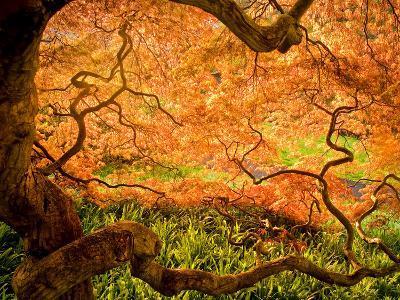Japanese Maple Trees in Winterthur Gardens, Wilmington, Delaware, Usa