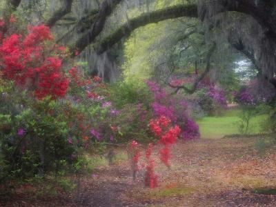 Spring Azaleas in Bloom at Magnolia Plantation and Gardens, Charleston, South Carolina, Usa