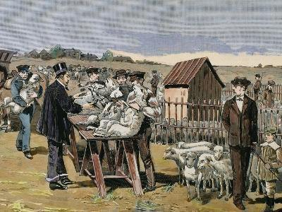 French Chemist and Bacteriologist. Vaccination of Sheep Against Anthrax, Agerville, France, 1884