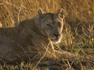 Lioness, Busanga Plains, Kafue National Park, Zambia, Africa