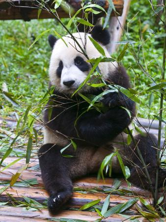 Giant Panda (Ailuropoda Melanoleuca) at the Panda Bear Reserve, Chengdu, Sichuan, China, Asia
