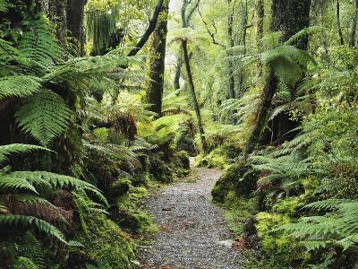 Walkway Through Swamp Forest, Ships Creek, West Coast, South Island, New Zealand, Pacific