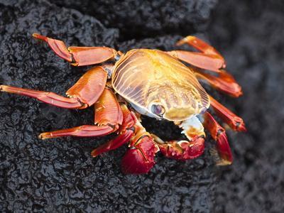 Sally Lightfoot Crab (Grapsus Grapsus), Cormorant Point, Isla Santa Maria, Galapagos Islands