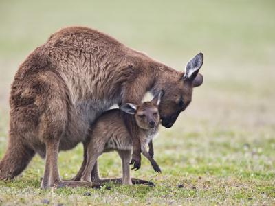 Kangaroo Island Grey Kangaroo (Macropus Fuliginosus) With Joey, Kelly Hill Conservation, Australia