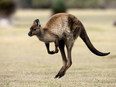 Kangaroo Island Grey Kangaroo (Macropus Fuliginosus), Kelly Hill Conservation, Australia