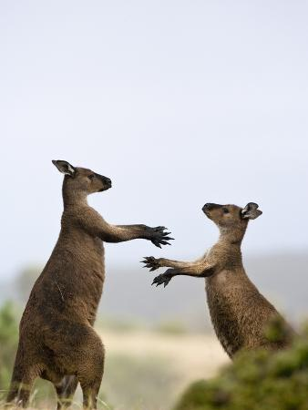 Kangaroo Island Grey Kangaroos (Macropus Fuliginosus), Lathami Conservation Park, Australia