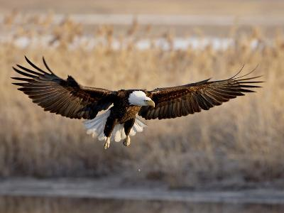 Bald Eagle (Haliaeetus Leucocephalus) in Flight on Final Approach, Farmington Bay, Utah, USA