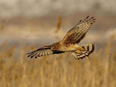 Female Northern Harrier (Circus Cyaneus) in Flight While Hunting, Farmington Bay, Utah, USA