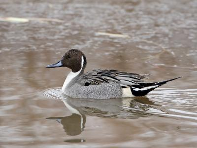 Northern Pintail (Anas Acuta), Bosque Del Apache National Wildlife Refuge, New Mexico, USA