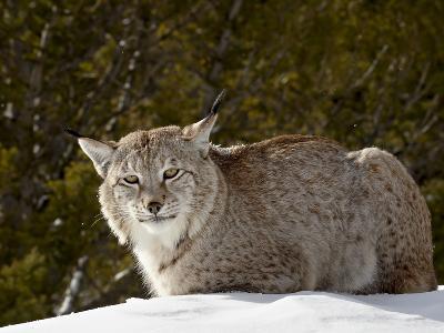Captive Siberian Lynx (Eurasian Lynx) (Lynx Lynx) in the Snow, Near Bozeman, Montana, USA