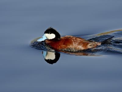 Male Ruddy Duck (Oxyura Jamaicensis) Swimming, Sweetwater Wetlands, Tucson, Arizona, USA