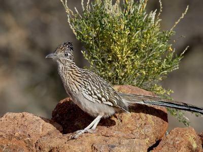 Greater Roadrunner (Geococcyx Californianus), the Pond, Amado, Arizona, USA