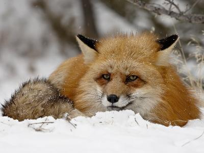 Captive Red Fox (Vulpes Vulpes) in the Snow, Near Bozeman, Montana, USA