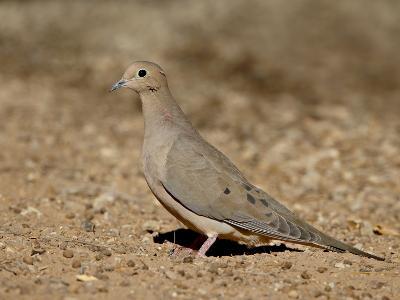 Mourning Dove (Zenaida Macroura), Sonny Bono Salton Sea National Wildlife Refuge, California, USA