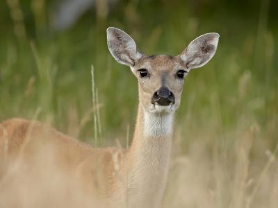 Whitetail Deer (Odocoileus Virginianus) Doe, Stillwater County, Montana, USA