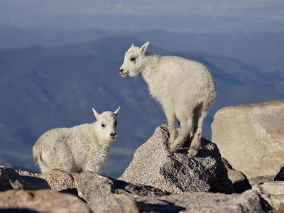 Two Mountain Goat (Oreamnos Americanus) Kids, Mount Evans, Colorado, USA