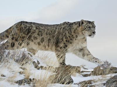 Snow Leopard (Uncia Uncia), in Captivity, Near Bozeman, Montana, USA