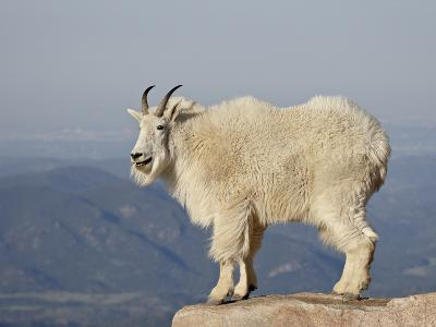 Mountain Goat (Oreamnos Americanus), Mount Evans, Colorado, USA