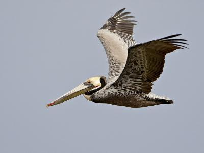 Brown Pelican (Pelecanus Occidentalis) in Flight in Partial Breeding Plumage, Salton Sea, CA