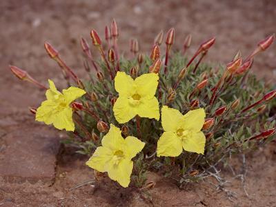 Lavender Evening-Primrose (Calyophus Lavandulifolia), Canyonlands National Park, Utah