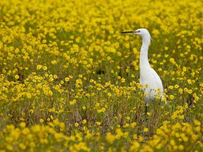 Snowy Egret (Egretta Thula) Among Goldfields, San Jacinto Wildlife Area, California