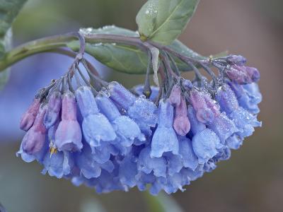 Bluebell (Campanula Rotundifolia), Shoshone National Forest, Wyoming