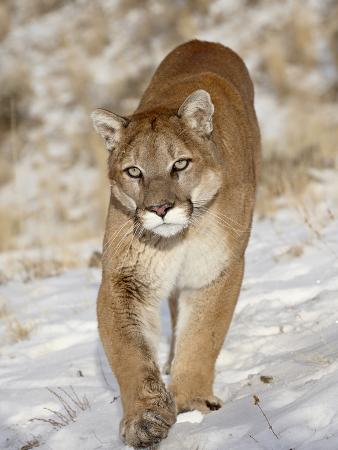 Mountain Lion (Cougar) (Felis Concolor) in the Snow, in Captivity, Near Bozeman, Montana, USA