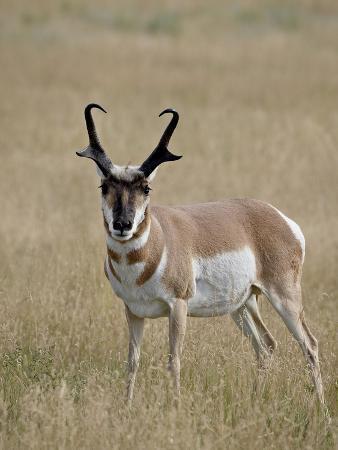 Pronghorn (Antilocapra Americana) Buck, Custer State Park, South Dakota, USA