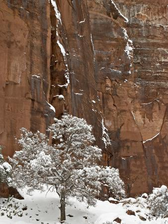 Fresh Snow on a Red Rock Cliff and Tree, Zion National Park, Utah, USA