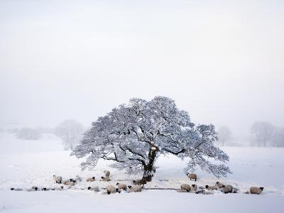 Northumberland Blackface Sheep in Snow, Tarset, Hexham, Northumberland, England, United Kingdom