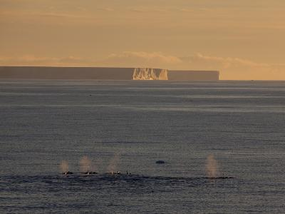 Killer Whales (Orca) (Orcinus Orca) in Front of Tabular Icebergs, Southern Ocean, Antarctic
