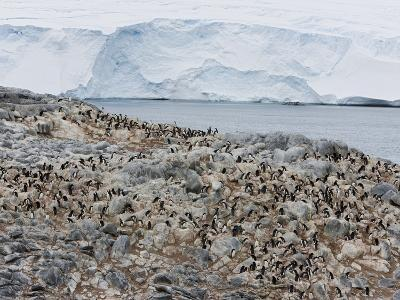 Adelie Penguin Colony (Pygoscelis Adeliae), Commonwealth Bay, Antarctica, Polar Regions