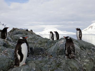 Gentoo Penguins (Pygoscelis Papua Papua), Paradise Bay, Antarctic Peninsula, Antarctica