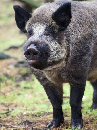 Wild Boar (Sus Scrofa), Kent, England, United Kingdom, Europe