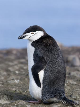Chinstrap Penguin (Pygoscelis Antarctica), Aitcho Island, Antarctica, Polar Regions
