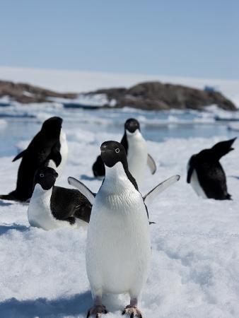 Adelie Penguins (Pygoscelis Adeliae), Dumont D'Urville, Antarctica, Polar Regions