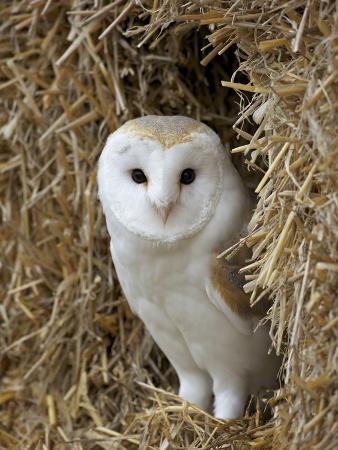 Barn Owl ( Tyto Alba), Captive, in Bales of Straw, Barn Owl Centre, Gloucestershire, England, Uk