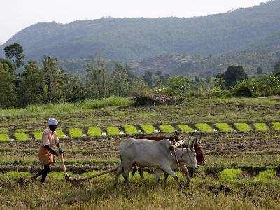 Ploughing An Agricultural Field, Marayoor, Kerala, India, Asia