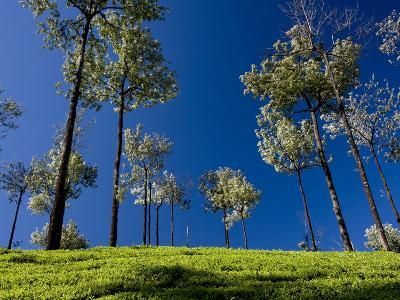 Tea Gardens in Devikulam, Munnar, Kerala, India, Asia