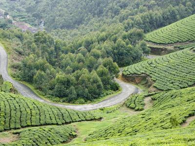 Tea Gardens, Munnar, Kerala, India, Asia