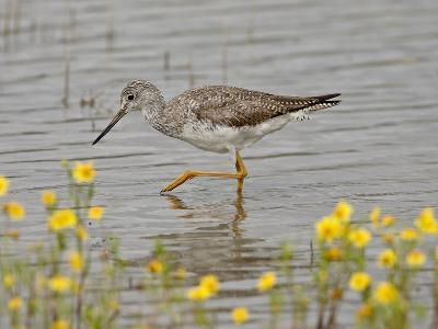 Greater Yellowlegs (Tringa Melanoleuca), San Jacinto Wildlife Area, California, USA